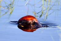 Ruddy Duck Drake Diving