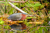 Green Heron and Reflection, Florida Everglades-2-2