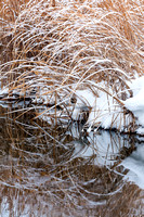 Winter Cattail Reflection