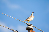 Upland Sandpiper on a Power Pole
