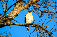 Sharp-Shinned Hawk, North Dakota-2