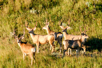 Mule Deer Bucks in Western North Dakota-6