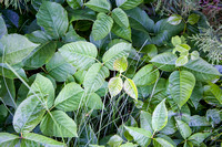 Poison Ivy in the Turtle Mountains of North Dakota (1 of 1)