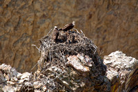 Osprey's on a Nest, Yellowstone National Park, Wyoming-2