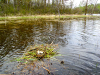 Red Necked Grebe Nest
