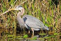 Great Blue Heron-5