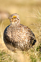 Sharptail Grouse-3