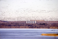 Canada Geese over the Missouri below the Garrison Dam, North Dakota