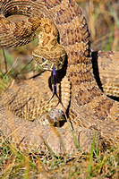 Rattlesnake Coiled to Strike-8