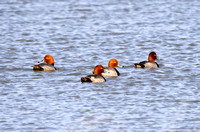Redheads on a Pond