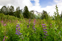 Fireweed and Lupine, Alaska