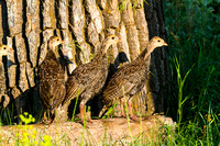 Young Turkeys on a Log