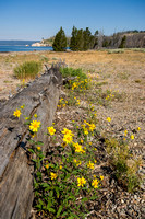 Sunflowers on the shores of Yellowstone Lake, Wyoming (1 of 1)