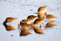 A Flock of Dowitchers on a North Dakota Slough-6