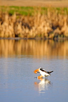 A Pair of American Avocets Posturing on a North Dakota Slough-4