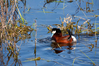 Ruddy Duck Drake Bubbling-2