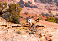 Desert Bighorn Sheep, Canyonlands National Park, Utah-7