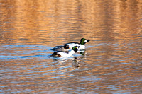 Goldeneyes Displaying-2-2