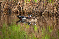 Wood Ducks on a River-4