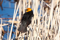 Yellow-Headed Blackbird in the Marsh-11