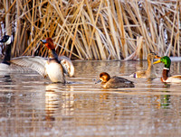 Redheads and other Waterfowl in a Pond-3