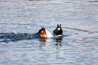 Goldeneyes Displaying-2