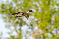 Pintails Flying-12