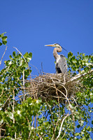 Great Blue Heron in a Tree-Top Nest-2