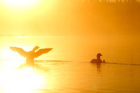 Common Loons - Foggy Sunrise-10