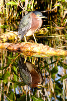 Green Heron and Reflection, Florida Everglades-2