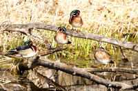 Wood Ducks Resting on a Branch