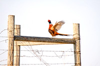 Pheasant Crowing on a Fence Corner (2 of 3)