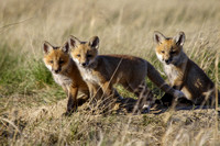 Fox Pups Playing-3