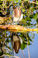 Green Heron and Reflection, Florida Everglades
