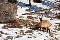 Bull Elk in the Snow-4-2
