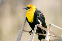 Yellow-Headed Blackbird in the Marsh-8