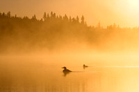 Common Loons - Foggy Sunrise-12