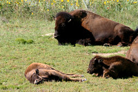 Bison Calf, North Dakota Badlands