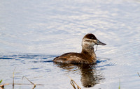 Hen Ruddy Duck On Pond