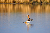 A Pair of American Avocets Posturing on a North Dakota Slough-1