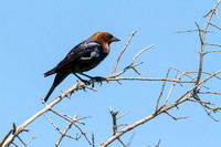 Brown-headed Cowbird-1