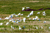 Cattle Egrets in Flight-1