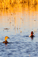 Canvasback Pair-2